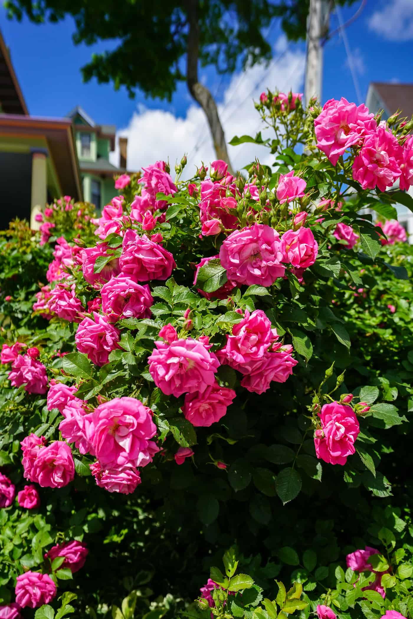 Large pink rose bush on Mackinac Island