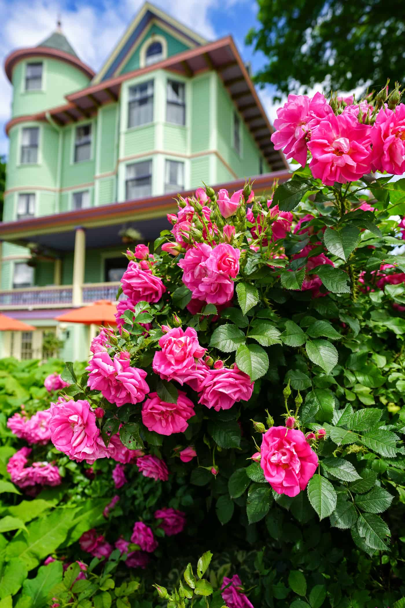 Pink roses in front of the Inn on Mackinac on Mackinac Island