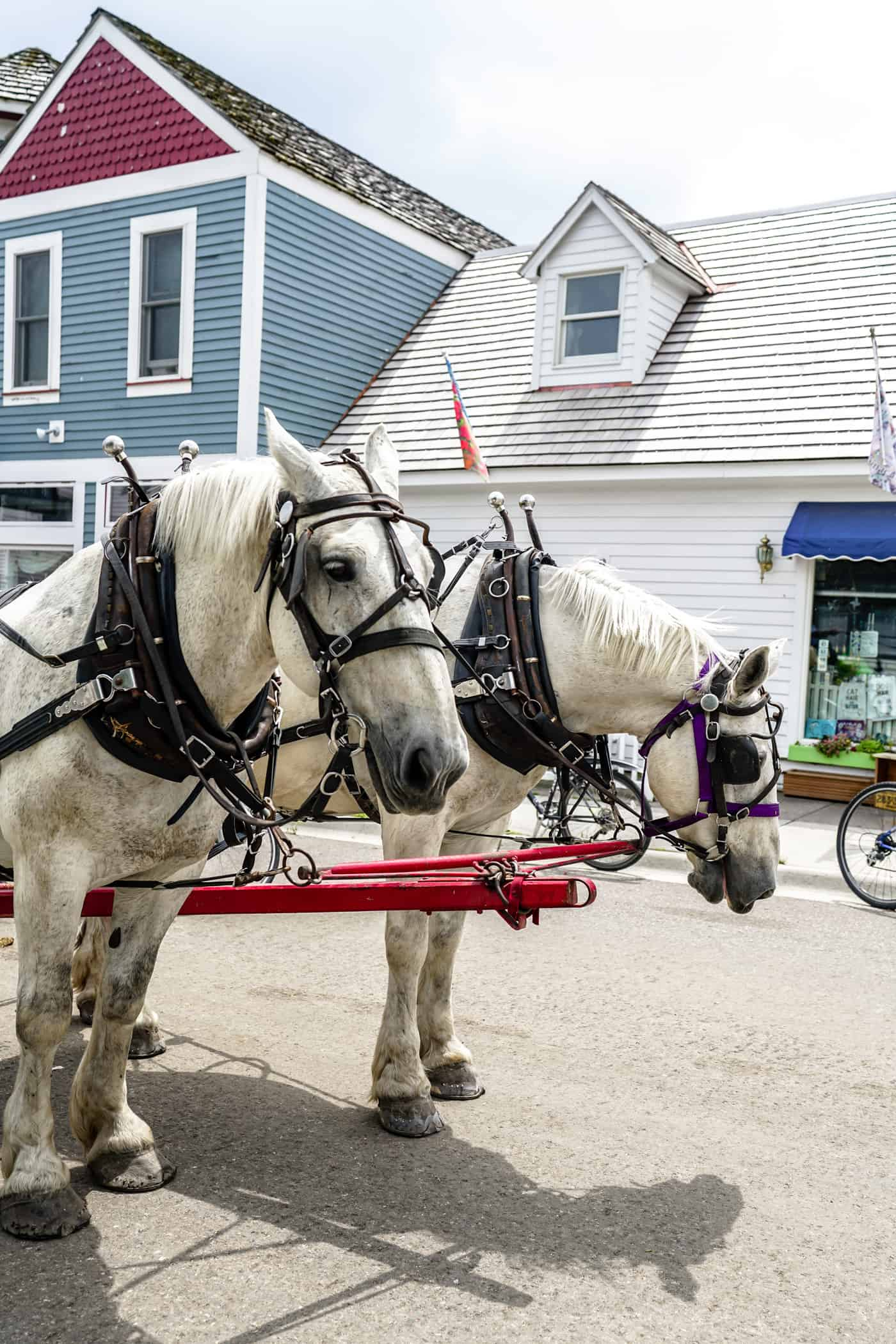 Two white horses during a carriage ride on Mackinac Island